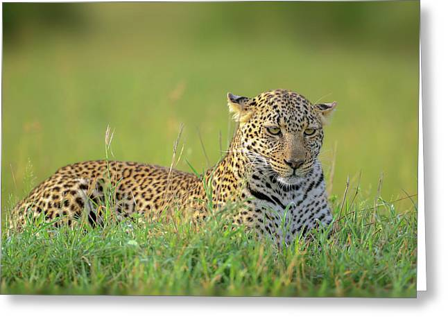 The Leopard Greeting Card by Roshkumar