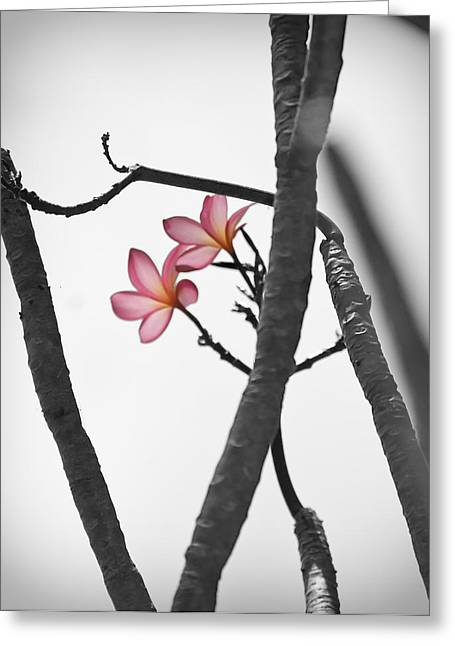 The Light Of Plumeria Greeting Card by Chris Ann Wiggins