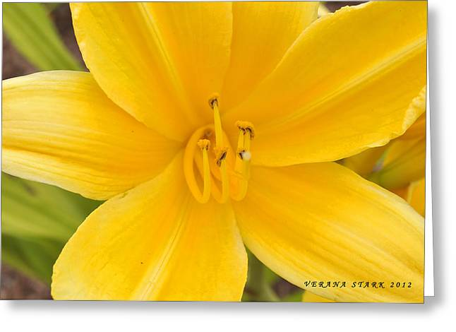 Greeting Card featuring the photograph The Lily From Kentucky by Verana Stark