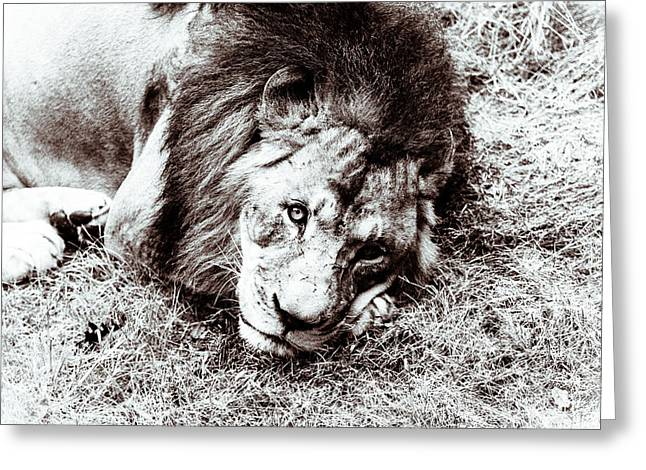The Lion Sleeps Tonight Greeting Card by Wade Brooks