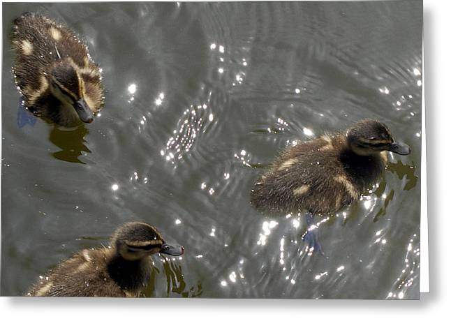 The Little Ducklings Out For A Swim Greeting Card