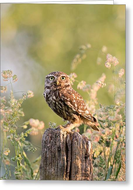 The Little Owl Greeting Card by Roeselien Raimond