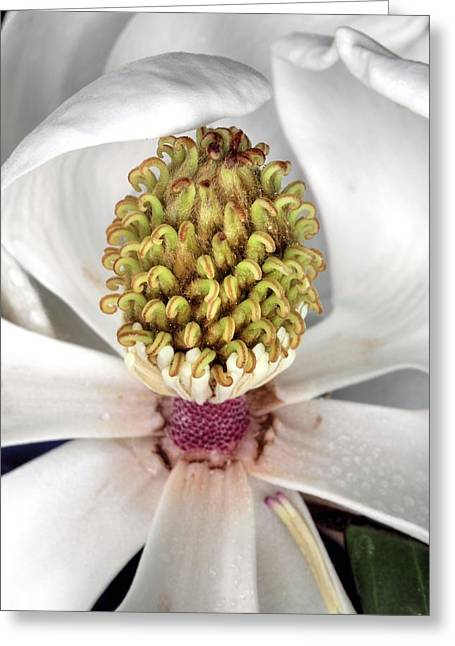 The Magnolia Debutante Greeting Card