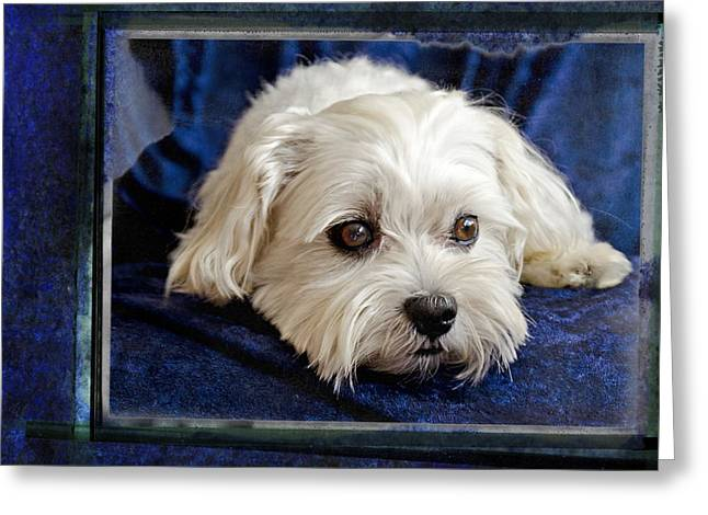 The Maltipoo Bailey On A Blue Background Greeting Card by Harold Bonacquist
