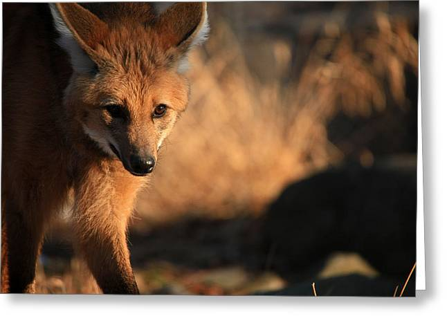 The Maned Wolf Greeting Card by Karol Livote