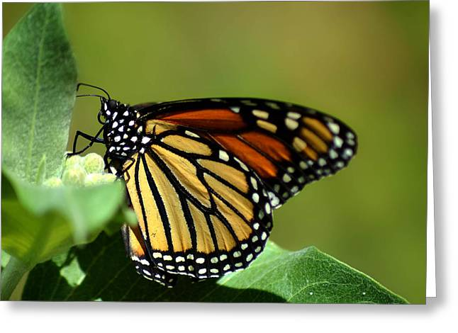 The Monarch Greeting Card by Camille Lopez