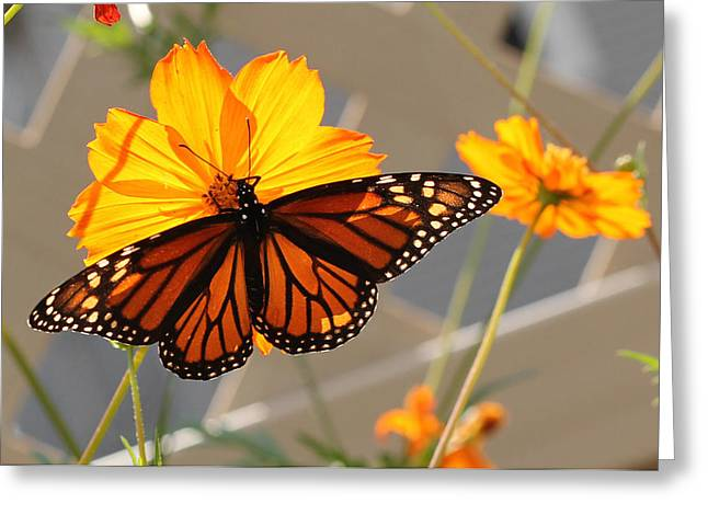 Greeting Card featuring the photograph The Monarch by Cathy Donohoue