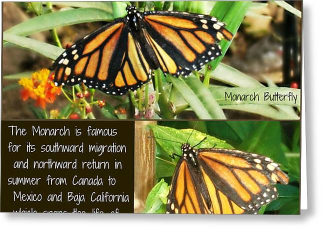 Greeting Card featuring the photograph The Monarch Story by Mindy Bench