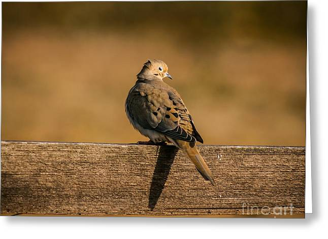 Frederick Greeting Cards - The Morning Dove Greeting Card by Robert Frederick