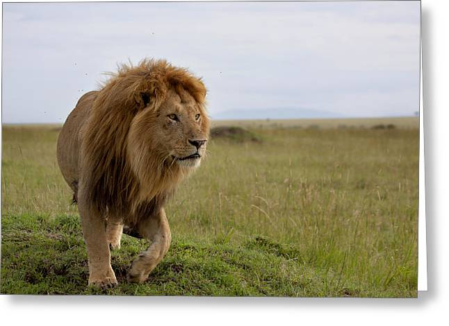 The Most Beautiful Lion Of The Masai Mara Greeting Card by Maggy Meyer