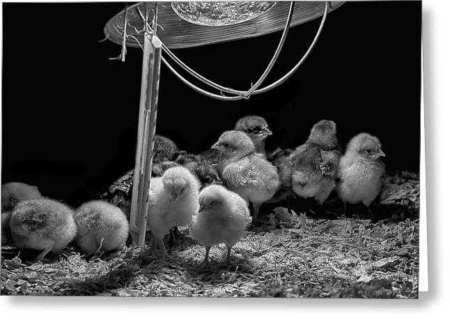 The New Born Chicks Greeting Card by Gary Neiss