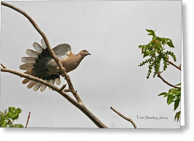 Greeting Card featuring the photograph The New Dove In Town by Tom Janca