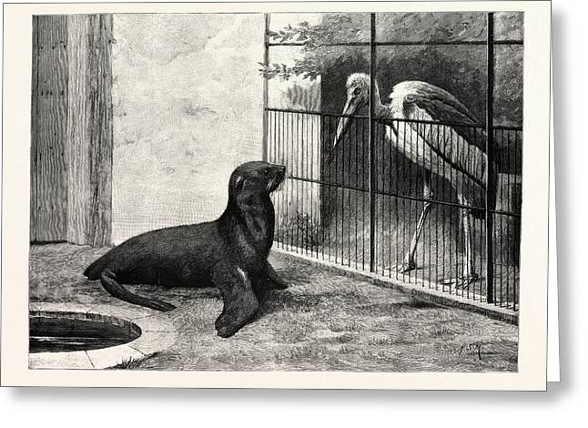 The New Neighbour Cape Sea Lion And Adjutant Bird Greeting Card by English School