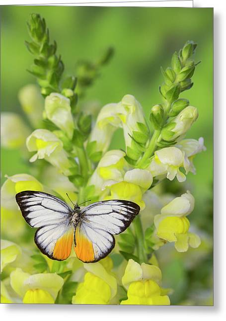 The Orange Gull Butterfly, Cepora Greeting Card