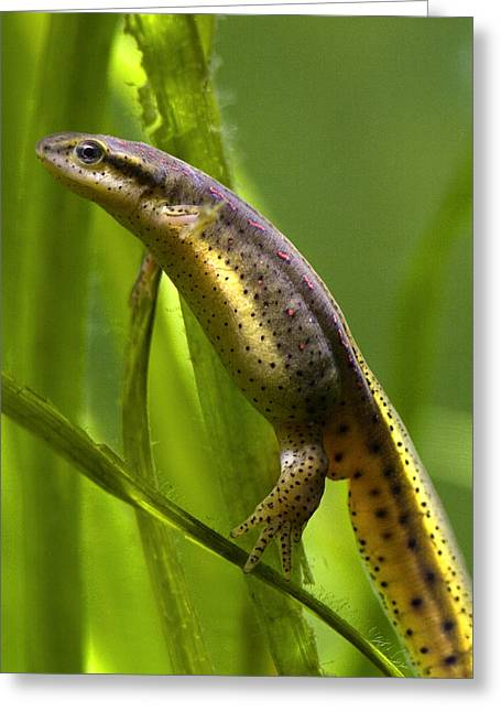 The Other Newt Greeting Card by Gene Walls