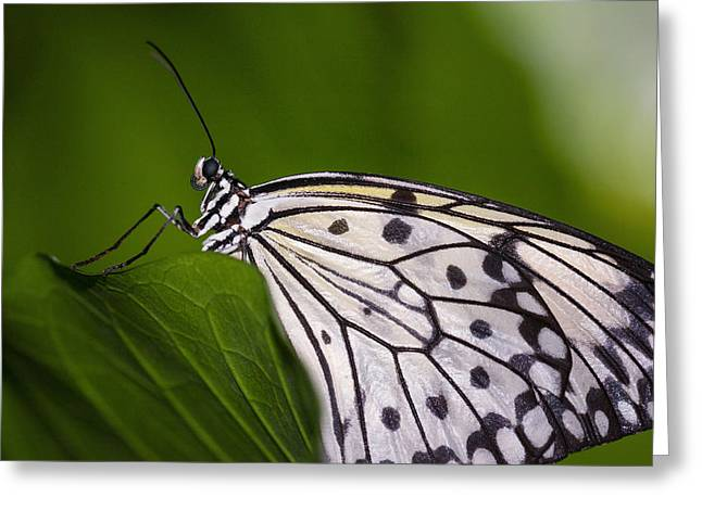 Greeting Card featuring the photograph The Paper Kite Butterfly by Zoe Ferrie