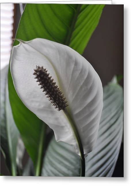 Greeting Card featuring the photograph The Peace Lily by Verana Stark