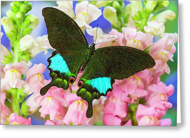 The Peacock Swallowtail Butterfly Greeting Card