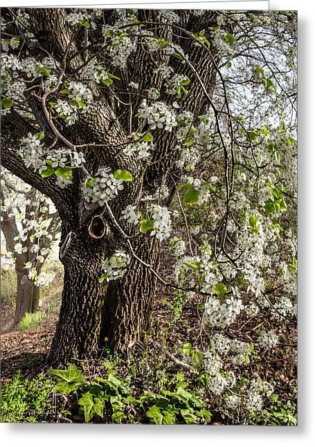 The Pear Tree Greeting Card by Debra and Dave Vanderlaan