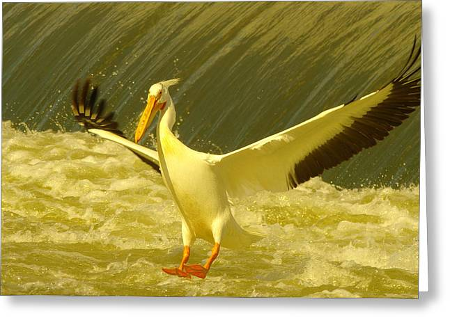 The Pelican Lands Greeting Card by Jeff Swan
