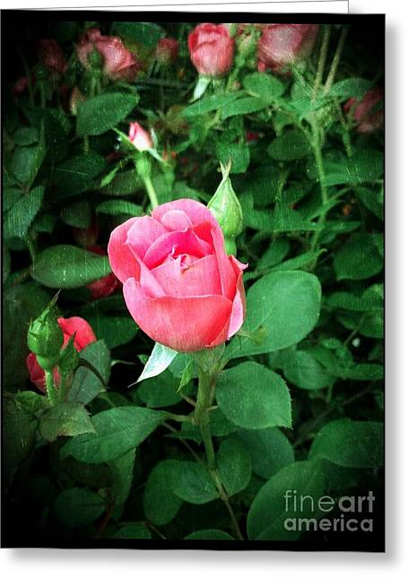 The Perfect Pink Rose Greeting Card by Becky Lupe