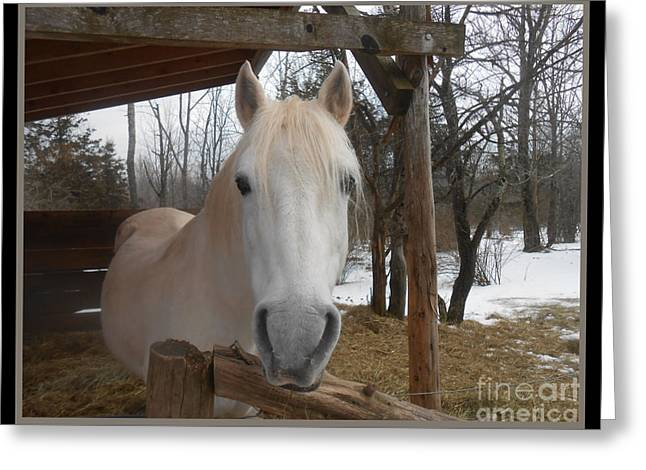The Picture Perfect Paso Fino Stallion Greeting Card by Patricia Keller