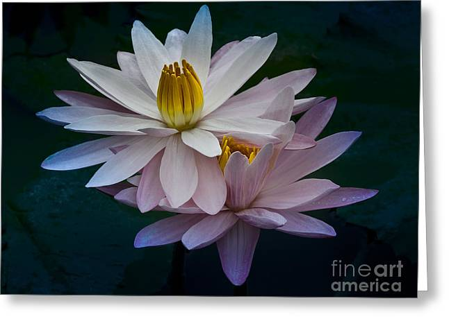 The Pink Lillies Of Candidasa Greeting Card by Julian Cook