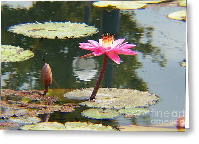 The Pink Water Lily With Lily Pads - One Greeting Card