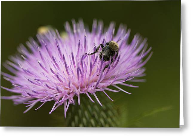 The Pollinator - Bee On Thistle  Greeting Card by Jane Eleanor Nicholas