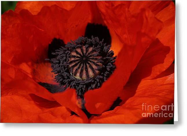 The Poppy Is Also A Flower Greeting Card