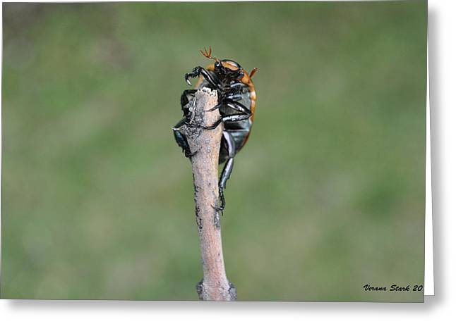 Greeting Card featuring the photograph The Posing Beetle by Verana Stark