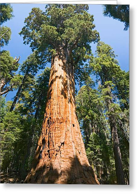 The President - Very Large And Old Sequoia Tree At Sequoia National Park. Greeting Card by Jamie Pham