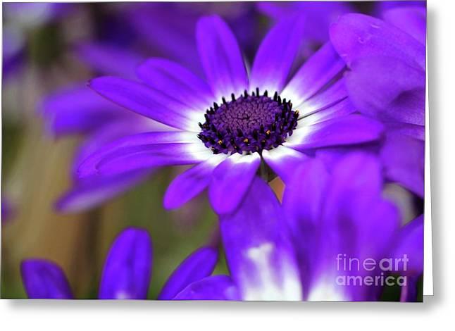 The Purple Daisy Greeting Card