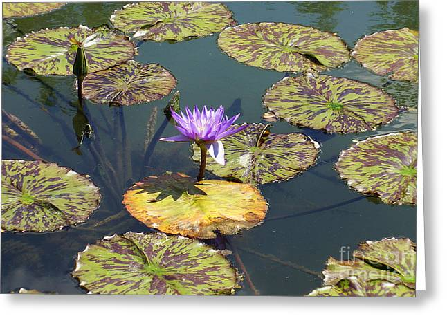 The Purple Water Lily With Lily Pads - Two Greeting Card