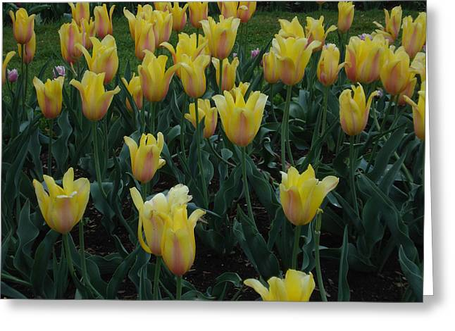 The Quiet Moment - Yellow Tulips Greeting Card by Jessica Gale