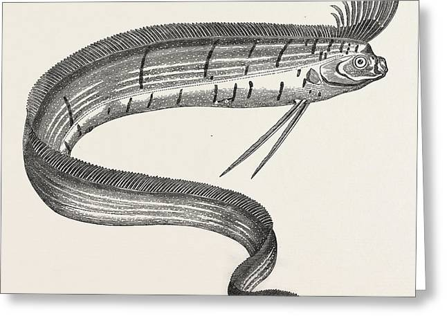 The Rare Fish Regalecus Glesne, Caught Off Cullercoats Greeting Card
