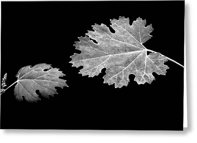 The Reach - Grape Leaf Anemone - Leaves - Black Background Greeting Card by Nikolyn McDonald
