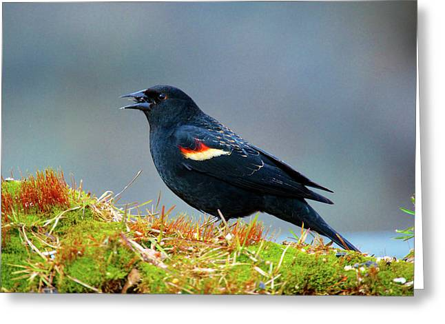 The Red-winged Blackbird (agelaius Greeting Card by Richard Wright