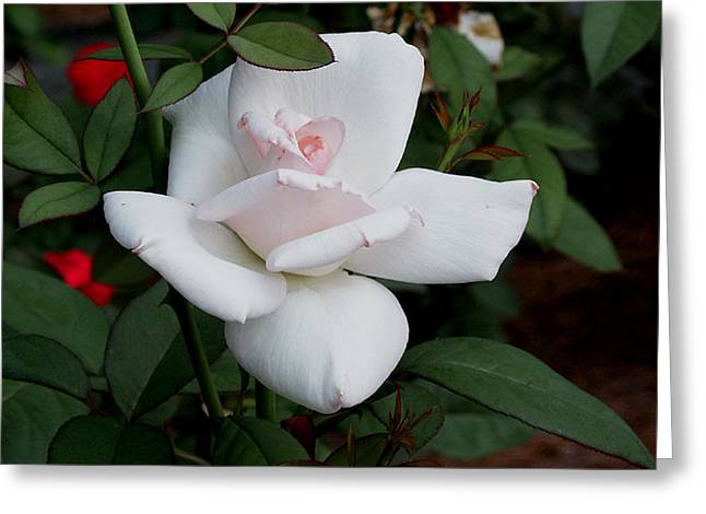 Greeting Card featuring the photograph The Rose by James C Thomas