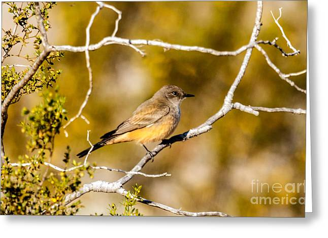 The Say's Phoebe Greeting Card