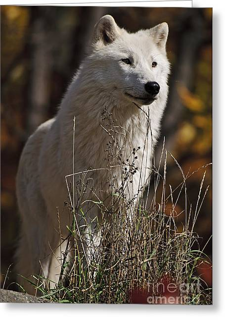 Greeting Card featuring the photograph The Sentinel by Wolves Only