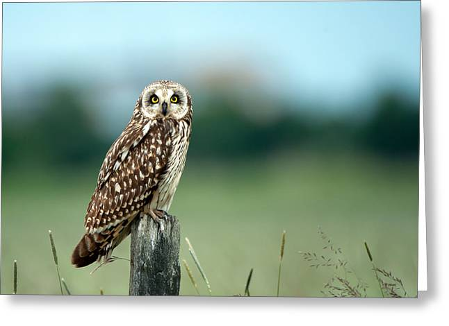 The Short-eared Owl  Greeting Card