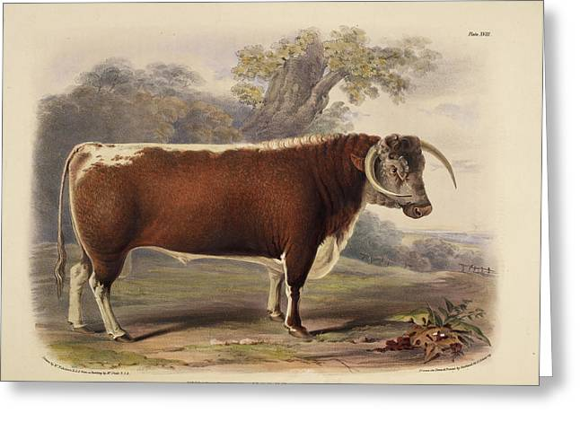 The Short Horned Breed Greeting Card