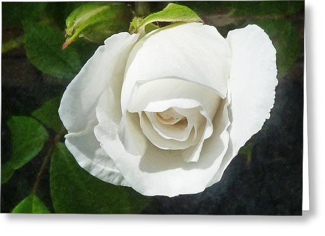 The Shy Rose Bud Greeting Card by Steve Taylor