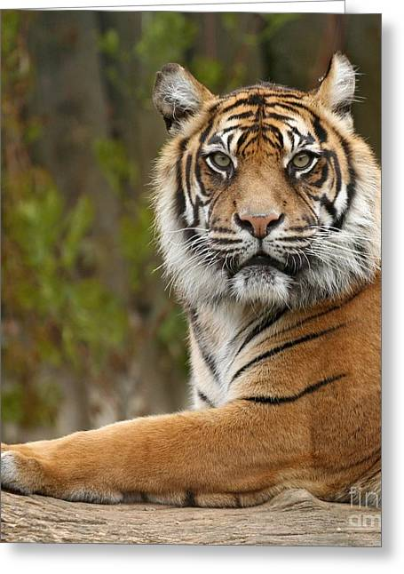 The Siberian Tiger Animal Greeting Card by Boon Mee