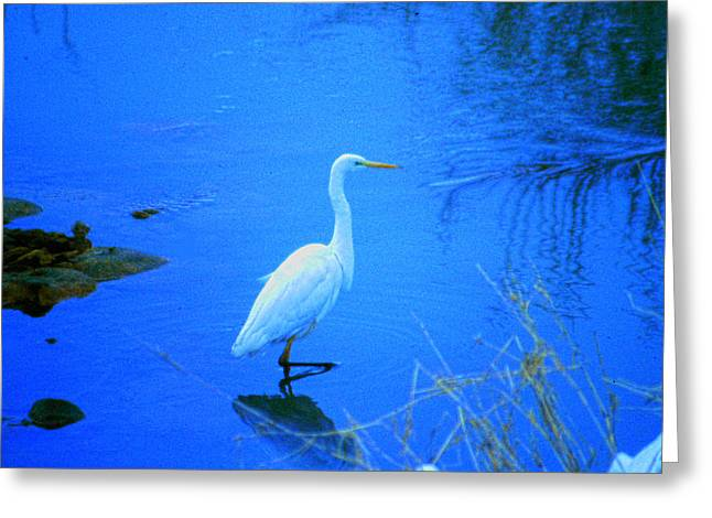The Snowy White Egret Greeting Card