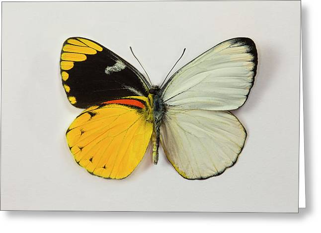The Splendid Butterfly, Delias Greeting Card