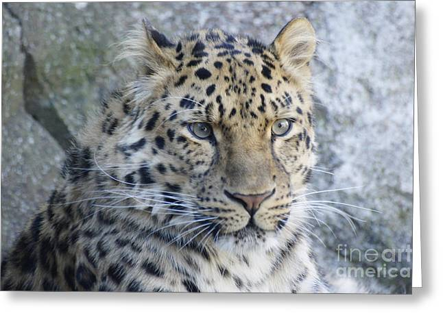The Stare Of A Leopard Greeting Card