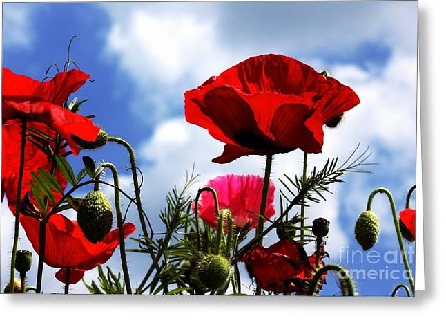 The Summer Poppy Greeting Card