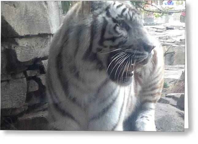 Greeting Card featuring the photograph The Tiger Outside The Window  by Alan Lakin